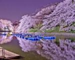 JAPONIA 2020 – SPECTACOLUL FLORII DE CIRES
