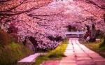 JAPONIA – CIREŞILOR ÎN FLOARE